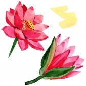 Red lotus flowers. Isolated lotus flowers illustration element. Watercolor background illustration.