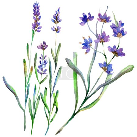 Photo for Purple lavender flowers. Wild spring wildflowers isolated on white. Hand drawn lavender flowers in aquarelle. Watercolor background illustration. - Royalty Free Image