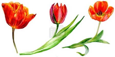 Amazing red tulip flowers with green leaves. Hand drawn botanical flowers. Watercolor background illustration. Isolated red tulips illustration element.