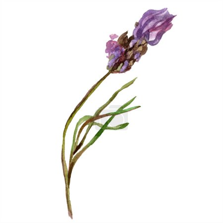 Purple lavender. Floral botanical flower. Wild spring wildflower isolated on white. Hand drawn lavender flower in aquarelle. Watercolor background illustration.