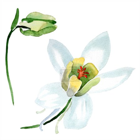 White aquilegia flower and bud. Beautiful spring wildflowers isolated on white. Watercolor background illustration.