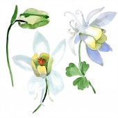 White aquilegia flowers and bud. Beautiful spring wildflowers isolated on white. Watercolor background illustration.
