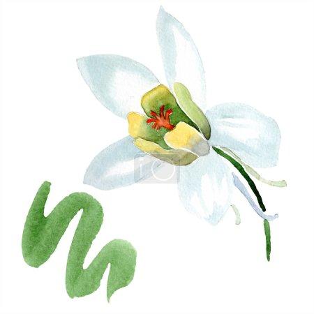 Photo for White aquilegia flower. Beautiful spring wildflower isolated on white. Isolated aquilegia illustration element. Watercolor background illustration. - Royalty Free Image
