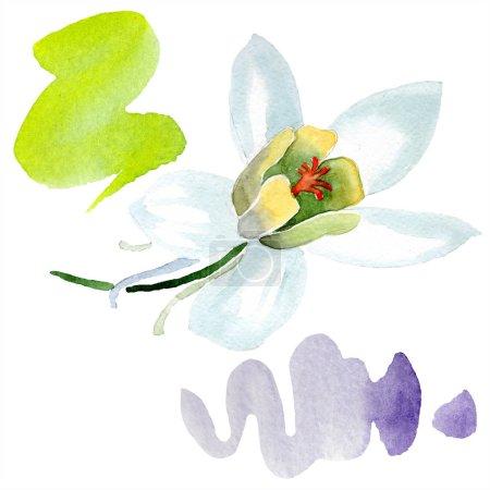 White aquilegia flower. Beautiful spring wildflower isolated on white. Isolated aquilegia illustration element. Watercolor background illustration.