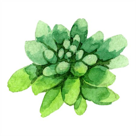 Photo for Amazing succulent. Watercolor background illustration. Aquarelle hand drawing isolated succulent plant. - Royalty Free Image