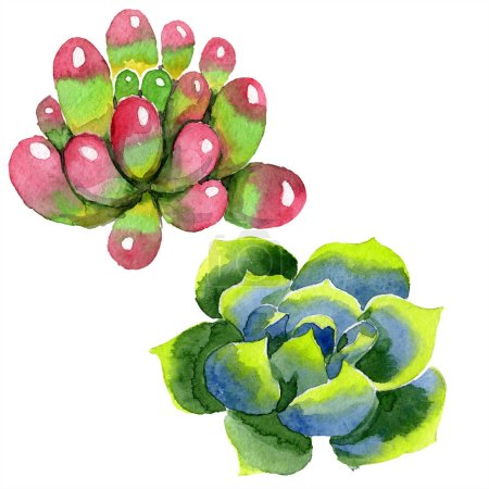 Amazing succulents. Watercolor background illustration. Aquarelle hand drawing isolated succulent plants.