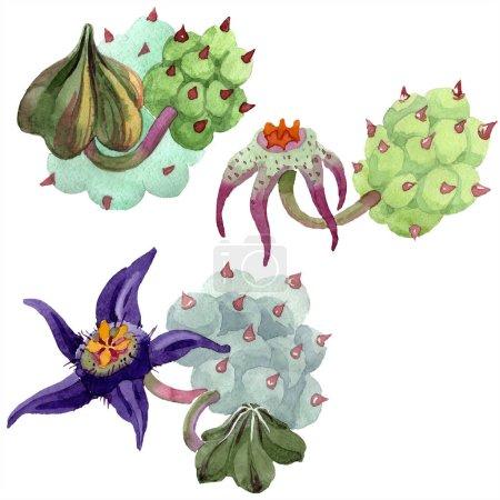 Foto de Duvalia flores aislados en blanco. Ilustración de fondo de acuarela. Aquarelle plantas suculentas dibujadas a mano. - Imagen libre de derechos
