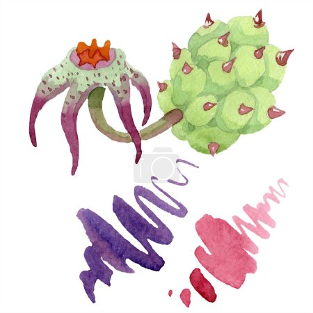 Duvalia flower. Isolated duvalia illustration element. Watercolor background illustration. Aquarelle hand drawing isolated succulent and stains.