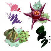 Duvalia flowers isolated illustration elements. Watercolor background illustration. Aquarelle hand drawing isolated succulent plants and stains.