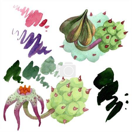 Photo pour Duvalia fleurs éléments illustration isolé. Illustration de fond aquarelle. Main d'aquarelle dessin isolés de plantes succulentes et taches - image libre de droit