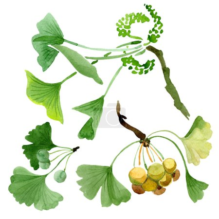 Photo for Green ginkgo biloba with leaves isolated on white. Watercolour ginkgo biloba drawing isolated illustration element. - Royalty Free Image