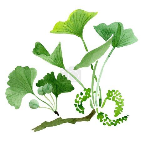 Foto de Biloba del ginkgo verde con hojas aisladas en blanco. Biloba del ginkgo acuarela dibujo elemento aislado de la ilustración. - Imagen libre de derechos