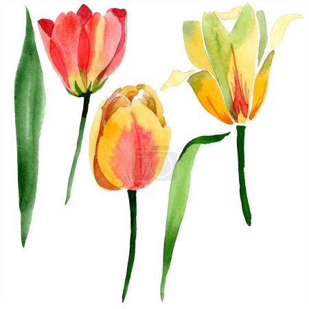 Beautiful yellow tulips with green leaves isolated on white. Watercolor background illustration. Isolated tulip flowers illustration element.