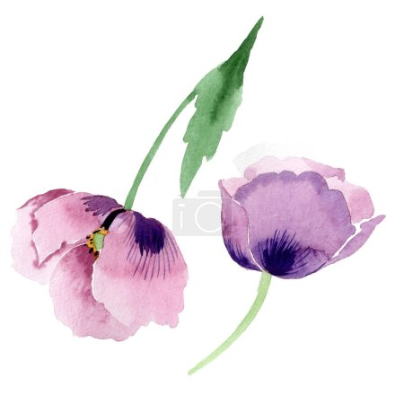 Photo for Beautiful burgundy poppy flowers isolated on white. Watercolor background illustration. Watercolour drawing fashion aquarelle isolated poppies illustration element. - Royalty Free Image
