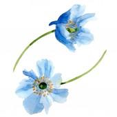 Постер Красивые голубые цветы мака изолированные