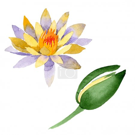 Yellow lotus flowers isolated on white. Watercolor background illustration. Watercolour drawing fashion aquarelle isolated lotus flowers illustration element