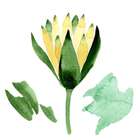 Yellow lotus flower isolated on white. Watercolor background illustration. Watercolour drawing fashion aquarelle isolated lotus illustration element