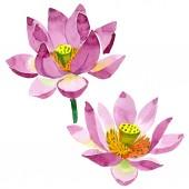 """Постер, картина, фотообои """"Цветы красивые фиолетовым лотоса, изолированные на белом. Акварель фон иллюстрации. Акварель, рисование моды акварель изолированных lotus цветы иллюстрации элемент"""""""
