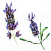 Beautiful purple lavender flowers isolated on white. Watercolor background illustration. Watercolour drawing fashion aquarelle isolated lavenders illustration element.
