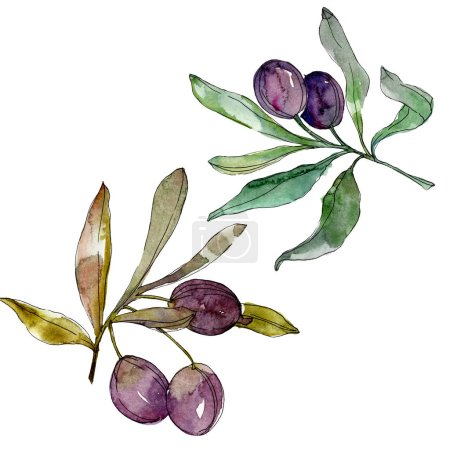 Photo for Olives on branches with green leaves. Botanical garden floral foliage. Watercolor background illustration. Watercolour drawing fashion aquarelle isolated on white background. - Royalty Free Image