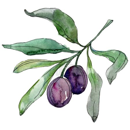Photo for Olives on branch with green leaves. Botanical garden floral foliage. Watercolor background illustration. Watercolour drawing fashion aquarelle isolated on white background. - Royalty Free Image