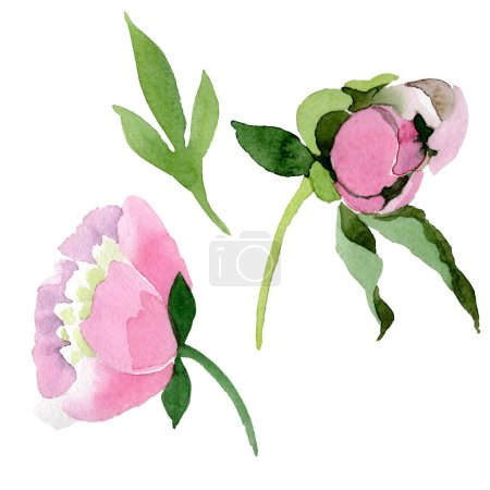 Beautiful pink peony flowers isolated on white background. Watercolour drawing fashion aquarelle. Isolated peony flowers illustration element.