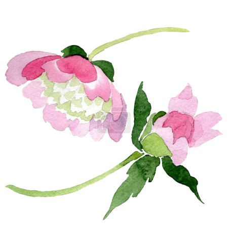 Foto de Flores de la hermosa peonía rosa aislados sobre fondo blanco. Aquarelle de moda dibujo de acuarela. Elemento de ilustración de flores de peonía aisladas - Imagen libre de derechos