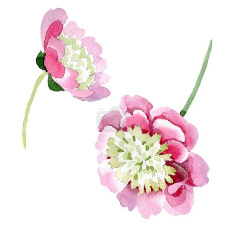 Photo pour Fleurs de pivoine rose belle isolés sur fond blanc. Dessin aquarelle de mode aquarelle. Élément d'illustration isolé pivoine fleurs - image libre de droit
