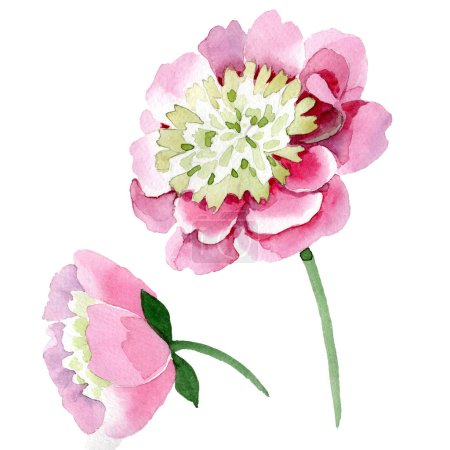 Photo for Beautiful pink peony flowers isolated on white background. Watercolour drawing fashion aquarelle. Isolated peony flowers illustration element. - Royalty Free Image