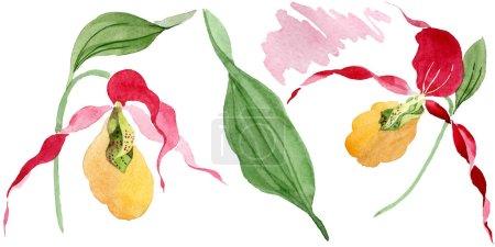 Foto de Señora deslizador orquídeas ilustración acuarela conjunto aislado en blanco - Imagen libre de derechos