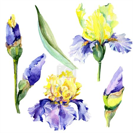 Photo for Purple yellow irises. Spring flowers isolated on white. Watercolor background illustration set. Watercolour drawing fashion aquarelle isolated. - Royalty Free Image