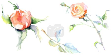 Photo for Orange rose flowers. Watercolor background illustration set. Watercolour drawing fashion aquarelle isolated. Isolated rose illustration element. - Royalty Free Image