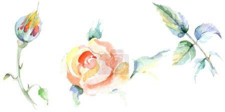Orange rose flowers. Watercolor background illustration set. Watercolour drawing fashion aquarelle isolated. Isolated rose illustration element.