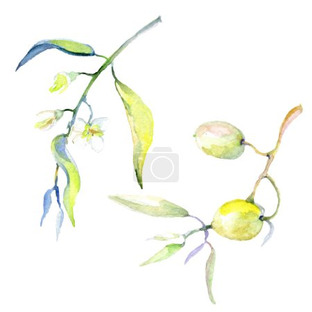 Photo pour Olives aquarelle fond illustration ensemble. Olives isolées avec feuilles éléments d'illustration . - image libre de droit