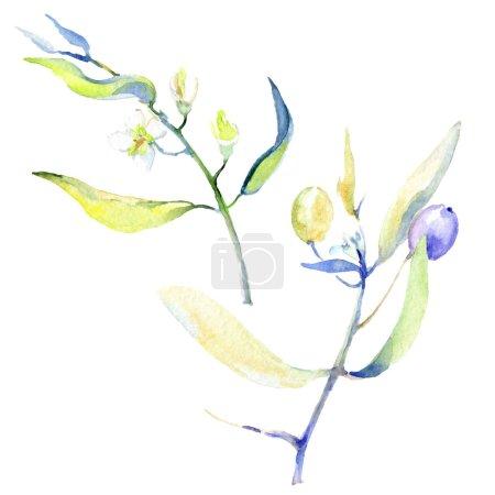 Foto de Conjunto de ilustración de fondo acuarela aceitunas. Olivos aislados con elementos de ilustración de hojas. - Imagen libre de derechos