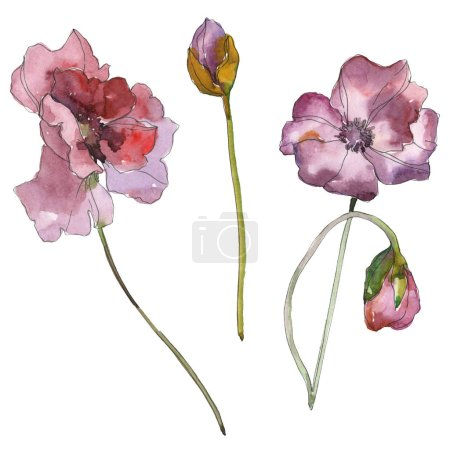 Purple red poppy floral botanical flower. Wild spring leaf isolated. Watercolor background illustration set. Watercolour drawing fashion aquarelle isolated. Isolated poppies illustration element.