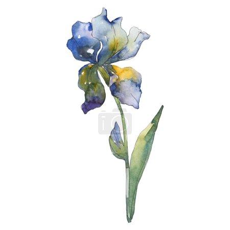 Foto de Iris azul. Flor botánica floral. Wildflower de hoja de primavera salvaje aislado. Conjunto de ilustración de fondo de acuarela. Acuarela dibujo moda aquarelle aislado. Elemento de ilustración iris aislado. - Imagen libre de derechos