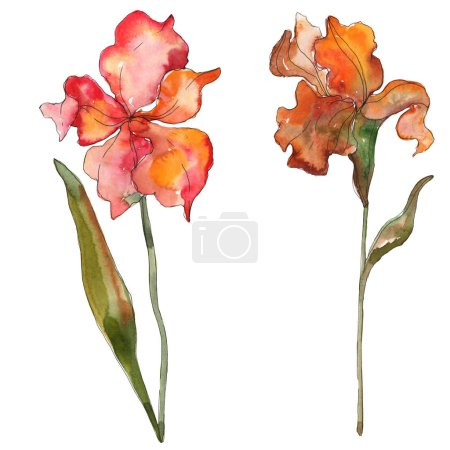 Photo for Red iris floral botanical flower. Wild spring leaf wildflower isolated. Watercolor background illustration set. Watercolour drawing fashion aquarelle isolated. Isolated iris illustration element. - Royalty Free Image