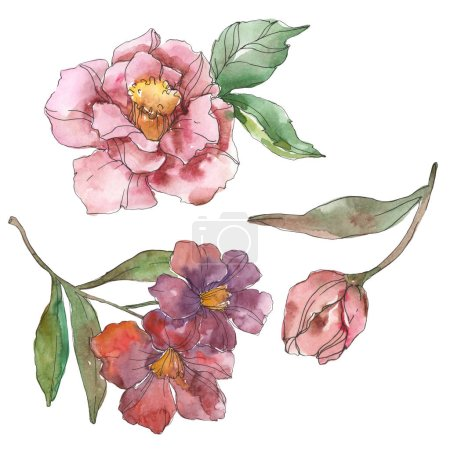 Red and purple camellia isolated on white. Watercolor background illustration element.