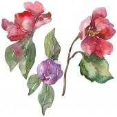 """Постер, картина, фотообои """"Красный и фиолетовый камелии цветы, изолированные на белом фоне. Акварель фон иллюстрации элементы."""""""