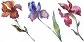 """Постер, картина, фотообои """"Красные и фиолетовые ирисы. Ботанический цветочные цветок. Дикие весны листьев Уайлдфлауэр изолированы. Акварель фон иллюстрации набора. Рисования акварелью моды акварель. Изолированные Ирис иллюстрации элемент."""""""
