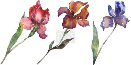 Photo for Red and purple irises. Floral botanical flower. Wild spring leaf wildflower isolated. Watercolor background illustration set. Watercolour drawing fashion aquarelle. Isolated iris illustration element. - Royalty Free Image