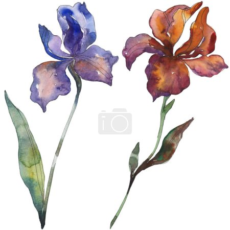 Photo pour Iris rouges et violets. Fleur botanique floral. Wildflower de feuille de printemps sauvage isolé. Aquarelle de fond illustration ensemble. Dessin aquarelle de mode aquarelle. Élément d'illustration iris isolé. - image libre de droit