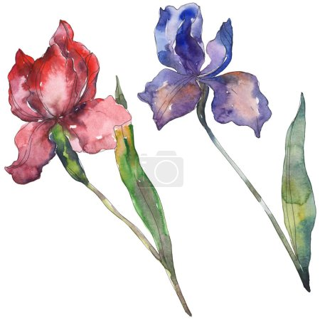 Photo pour Iris rouges et violets. Fleur botanique floral. Wildflower de feuille de printemps sauvage isolé. Aquarelle de fond illustration ensemble. Dessin aquarelle de mode aquarelle. Élément d'illustration iris isolé. - image libre de droit