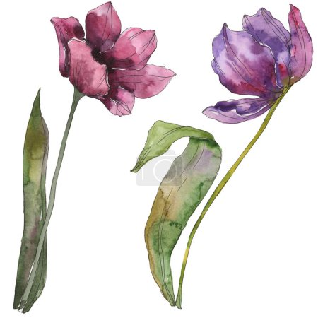 Photo for Purple tulip floral botanical flowers. Wild spring leaf wildflower isolated. Watercolor background illustration set. Watercolour drawing fashion aquarelle. Isolated tulip illustration element. - Royalty Free Image
