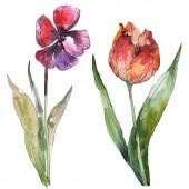 """Постер, картина, фотообои """"Фиолетовый и красный тюльпаны изолированных иллюстрация элементы. Акварель фон Иллюстрация."""""""