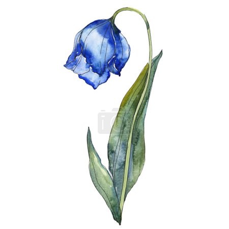 Photo for Blue tulip isolated on white watercolor background illustration element. - Royalty Free Image