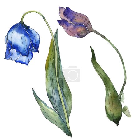 Photo for Blue and purple tulips isolated on white watercolor background illustration elements. - Royalty Free Image