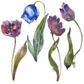 """Постер, картина, фотообои """"Синие и фиолетовые тюльпаны, изолированные на белом фоне Акварельные иллюстрации элементов."""""""