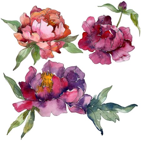 Purple peonies watercolor background illustration set. Isolated peonies illustration elements.